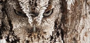 Graham McGeorge – Eastern Screech Owl