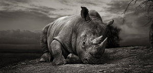 Thomas Marasco – White Rhino