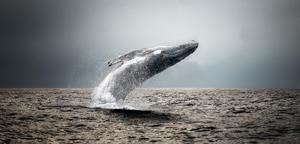 Giordano – Baleine coul