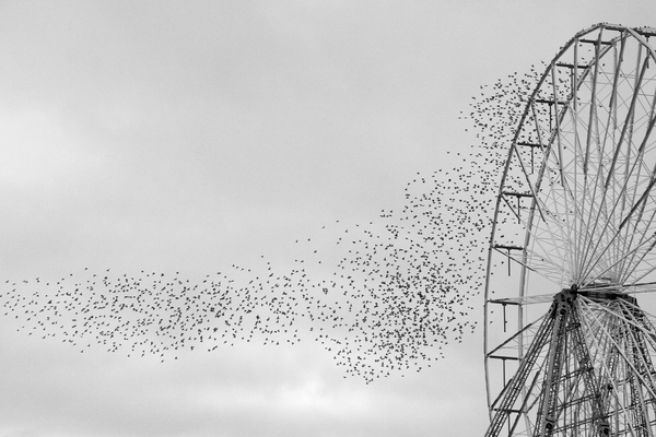 Starlings Above 3