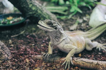 Iguana at the zoo